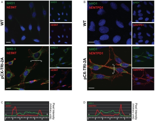 All the three exogenous proteins were correctly localized in pCX TRI 2A-transfected cells.WT and pCX-TRI-2A-transfected cells were co-stained with anti-hHO1 and anti-hE5NT antibodies (A) or with anti-hHO1and anti-hENTPD1antibodies (B). Transfected cells positive to hE5NT or hENTPD1 (red) were also positive to hHO1 (green). hE5NT and hENTPD1 localized on the cell surface, while hHO1 had a perinuclear and/or ER membranes cytoplasmic localization. (C-D) Plot of the signal intensity for hE5NT and hENTPD1 (red) and hHO1 (green) along the line drawn in A and B indicated that the most intense hE5NT and hENTPD1 signals are not colocalized with hHO1 signal.