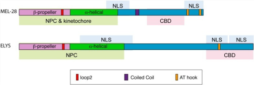 Overview of MEL-28 and ELYS localization domains.The N-terminal halves of MEL-28 and ELYS are sufficient to localize to NPCs (green shading) although less efficiently than full-length proteins. In the case of MEL-28, the N-terminus is also sufficient to localize to kinetochores. Both proteins contain central and C-terminal domains that are imported into nuclei (blue shading) and C-terminal domains that confer binding to chromatin (pink shading). A conserved loop2 motif in the N-terminal β-propeller is important for NPC localization in the context of truncated proteins. Both the loop2 motif and the AT-hook domain of MEL-28 are essential for embryonic viability.