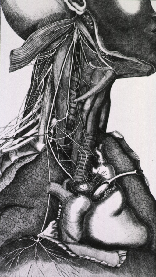 <p>Upper chest and neck region of the human body with the nervous system, the heart, lungs, and muscles exposed.</p>