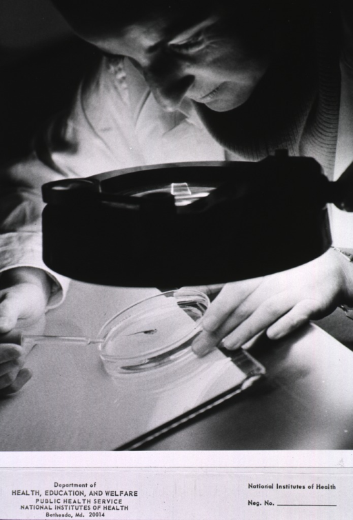<p>A female research technician looks through a large illuminated magnifying glass at an anesthetized tadpole in a Petri dish.</p>