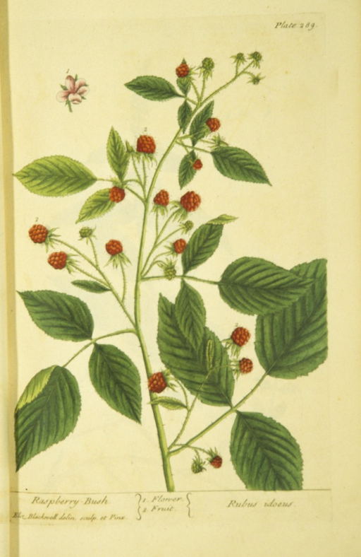 <p>Illustration of the flower and fruit of a raspberry bush.</p>