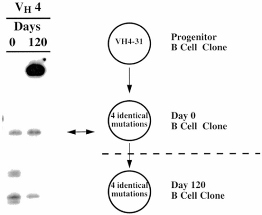 Persistence of a synovial fluid B cell clone in the same joint for				4 months. Arthrocentesis was performed on the same joint of the same patient on				days 0 and 120. One of the B-cell clones identified in each of these samples				was identical in both HCDR3 length and in VHDJH gene DNA				sequence.