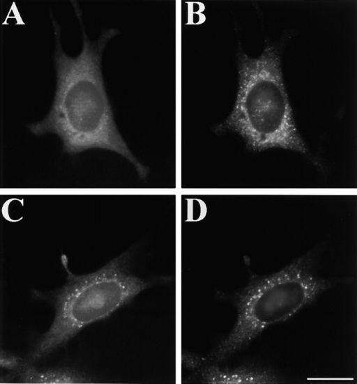 Evidence for direct Golgi disassembly in cells lacking p115. Cells were injected with anti-p115 antibodies, incubated for 6 h, and then costained directly for giantin with FITC-coupled antigiantin pAb (A) and indirectly for ERGIC-53 with a mAb (B). Cells were also treated with BFA to collapse the Golgi into the ER, injected with anti-p115, washed to remove the BFA, incubated in the absence of BFA for 4 h, and then costained directly for giantin (C) and indirectly for ERGIC-53 (D). All cells shown were injected. Note the lack of Golgi staining in the ERGIC after breakdown and its presence after BFA washout. Bar, 10 μm.