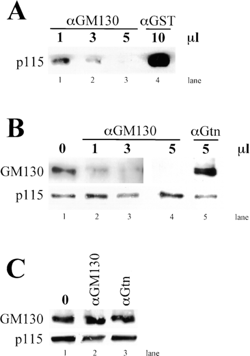 Anti-GM130 blocks p115–GM130 complex formation without displacing membrane-associated p115. (A) NRK cell lysates were added to bead-attached GST-GM130 that was preincubated with the amount of anti-GM130 (lanes 1–3) or anti-GST (lane 4) indicated. The amount of cellular p115 recovered on the beads was determined by immunoblotting. (B) NRK membrane fractions were pretreated in absence (lane 1) or the presence of the indicated amounts of anti-GM130 (lanes 2–4) or antigiantin (lane 5) before coimmunoprecipitation with anti-p115 covalently attached to beads. The amount of cellular GM130 and p115 recovered was determined by immunoblotting. (C) NRK membrane fractions were also pretreated without antibody (lane 1), with 5 μl anti-GM130 antibody (lane 2), or with 5 μl antigiantin (lane 3) and then collected by centrifugation. The recovery of membrane-associated p115 and GM130 was then determined by immunoblotting. Note that although anti-GM130 blocked p115 binding to GST-GM130, and it blocked recovery of p115–GM130 complexes from membranes; it did not block p115 membrane association. Bar, 10 μm.