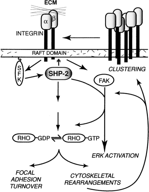 Model of SHP-2 function downstream of integrins. Schematic representation of the SHP-2 signaling pathways downstream of integrins. See Discussion for details.