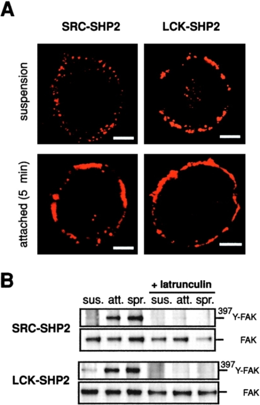 Raft targeting of LCK-SHP2 regulates actin cytoskeleton in nonattached cells. (A) Indirect immunofluorescence with anti-β1 antibody of nonattached or Fn-attached SRC-SHP2 or LCK-SHP2 cells, as indicated. Bar, 5 μm. (B) Serum-depleted SRC-SHP2 or LCK-SHP2 cells were latrunculin-B-treated, then left in suspension (sus) or Fn-replated for 5 (att) or 30 min (spr). FAK was precipitated and probed with anti–397Y-FAK and -FAK antibodies (n = 3).