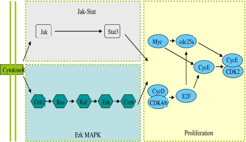 Two pathways, JAK/STAT and Ras/Raf/ERK, both carry the external LIF signal into mES stem cells to promote cell proliferation and self-renewal
