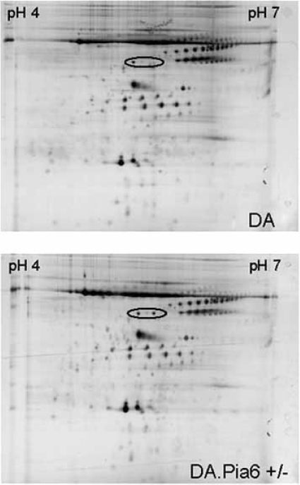 Plasma from healthy and chronically ill DA and DA.Pia6 rats were separated by charge on pH4-7 Immobiline dry strips and separated for size on 12% SDS-PAGE. All samples were repeated three times. According to analysis there was one major difference between the DA and DA.Pia6, the single (DA) and duplicated spot (DA.Pia6+/-) (marked with a ring). According to mass-spectrometry these dots were identified as two isoforms of the vitamin D binding protein encoded from the Gc locus.