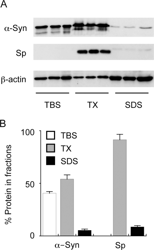 "Analysis of α-synuclein and synaptophysin in fractionated Parkinson's disease tissues.Tissues were homogenised into three fractions that contained tris-buffered saline (TBS), TBS containing Triton X100 (TX) or sodium dodecyl sulphate (SDS) and α-synuclein (α-Syn), synaptophysin (Sp) and β-actin expression was analysed by Western blotting (A). The intensity of the bands was measured and the relative amounts of α-Syn and Sp in each fraction is expressed in the histogram (B). The data are derived from Parkinson's disease amygdala (PD AMY) samples and are used as an example to illustrate the techniques used to characterise the PD tissues. Data in ""B"" represent mean values with SEM shown by the error bars for the three samples shown in ""A""."