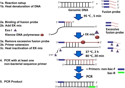 The principle of PE-PCR for bacterial DNA amplification and detection.A fusion probe is designed with the sequences at the 3′-end corresponding to the bacterial genomic sequences and a non-bacterial tag sequence at the 5′-end. The reaction is initiated by annealing the fusion probe to the template bacterial DNA after heat-denaturing at 95°C for 5 min (Step 1 and 2). An enzyme mix (EK mix) of exo I and Klenow DNA polymerase is then added into the reaction mixture and incubated at 37°C for 2 h (Step 3a and 3b). Following heat-inactivation of EK mix at 80°C for 20 min (Step 3c), a forward primer (non-bac-F) corresponding to the non-bacterial sequence of the fusion probe and a reverse primer (bac-R) targeting bacterial genomic sequence downstream of the fusion probe are used for PCR amplification of the primer extension product (Step 4). In this setting, only template bacterial DNA but not the endogenous contaminated bacterial DNA is amplified (Step 5).