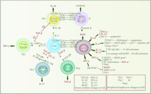 Cytokine network that links innate and adaptive immunity. This figure illustrates the functions of some key cytokines secreted by several most important types of immune cells. APC refers primarily to monocytes, macrophages, and dendritic cells. In SLE, TGF-β and IL-10 mainly exhibit anti-inflammatory effects, while IL-6, BAFF, IFN-α, IFN-γ, IL-17, and IL-23 function as proinflammatory cytokines. These cytokines have cross-talks by affecting one another, thereafter constituting a complex network.
