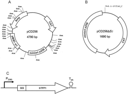 Map of pCD256, pCD256ΔEc and the synthetic hTFF1 expression cassette. A: Map of pCD256 containing the minimal replicon (miniori) from plasmid p256[33] for replication in LAB, pMB1 origin for replication in E. coli, a chloramphenicol resistance gene (CAT) for selection in LAB and an ampicillin resistance gene (Amp) for selection in E. coli. The dam/dcm-methylation sites are indicated. B: Map of the minimal plasmid pCD256ΔEc consisting exclusively of the LAB-minimal origin from plasmid p256 and the chloramphenicol resistance gene for selection in LAB. C: Map of the synthesised hTFF1 expression cassette consisting of the optimized hTFF1-gene, N-terminally fused to the L. plantarum CD032 plnI double glycine leader sequence (GG), promoter P2083 and terminator Tldh.