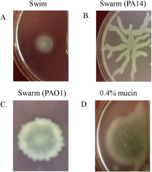 Swimming (A), swarming (B and C), and mucin-promoted (D) motilities of P. aeruginosa. Motilities were examined on plates containing 0.3% (wt/vol) agar (swim), 0.5% (wt/vol) agar (swarm), or 0.3% (wt/vol) agar with 0.4% (wt/vol) mucin.