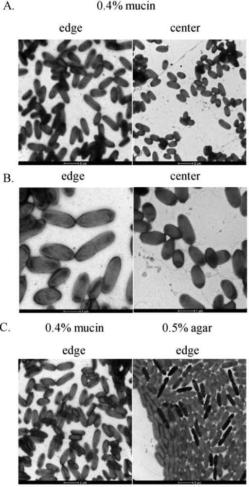 Electron microscopy images of the P. aeruginosa strain PA14 WT from motility colonies on 0.5% agar or 0.4% mucin. P. aeruginosa bacteria were taken directly from the leading edge and center of the mucin-promoted surface motility zone (A and B) or the leading edge of the swarming motility zone (C). The cells were stained with 1% uranyl acetate and observed using a transmission electron microscope.