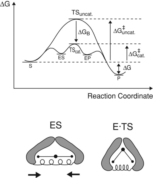 Reaction Coordinate Diagram Of An Idealized Enzyme Cata