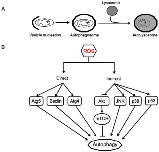 Autophagy process and regulation by ROS. (A) Autophagy