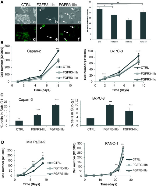 FGFR3 has tumor suppressor gene properties in BxPC-3 and Capan-2 pancreatic cell lines. A) Capan-2 cells were transduced with either control (a,d), FGFR3-IIIb (b,e) or FGFR3-IIIc ZsGreen lentivectors (c,f) and observed with a fluorescence microscope (original magnification ×40, bright field, a,b,c, green fluorescence, d,e,). Colonies with strong overexpression of either FGFR3-IIIb or –IIIc were smaller (arrows heads, b, c, e, f) than colonies with lower expression (arrows). Right panel: mean fluorescence intensity was determined for colonies transduced with the same lentivectors as in left panel, and were also transduced with a lentivector carrying a FGFR3-IIIc cDNA with the K508M mutation inactivating the kinase domain. B) FGFR3-IIIb and –IIIc overexpression decreased Capan-2 and BxPC-3 cell proliferation and (C) increased apoptosis. (D) FGFR3 forced expression had opposite effect on cell proliferation of Mia PaCa-2 and PANC-1 cells. NS: nor significant, *p = 0.05, **p < 0.01, ***p < 0.001.
