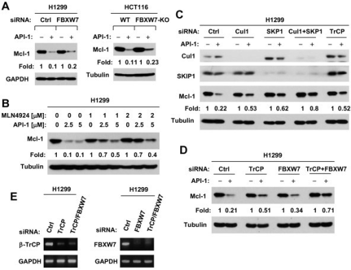 Both the SCF E3 ligases, β-TrCP and FBXW7, are involved in mediating API-1-induced Mcl-1 degradation. A, H1299 cells were transfected with control (Ctrl) or FBXW7 siRNA and 48 h later were exposed to DMSO or 5 μM API-1 for an additional 4 h. Moreover, WT and FBXW7-KO HCT116 cell lines were treated with 5 μM for 4 h. B, H1299 cells were pre-treated with the indicated concentrations of MLN4924 and then co-treated with the given concentrations of API-1 for an additional 4 h. C and D, H1299 cells were transfected with the given siRNAs for 48 h and then exposed to 5 μM API-1 for another 4 h. After these treatments, the cells were harvested for preparation of whole-cell protein lysates and subsequent Western blotting. Protein levels were quantified with NIH Image J software and were normalized to actin. E, H1299 cells were transfected with the given siRNAs and after 48 h were harvested for extraction of total RNA. RT-PCR was then conducted to detect the expression of the indicated mRNAs.