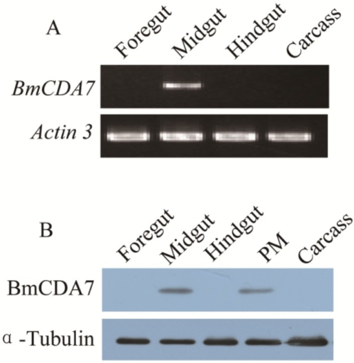 Tissue distribution of BmCDA7. (A) The spatial expression profile at the transcriptional level. Total RNA of different tissues from the third day of the fifth instar larvae were used in the RT-PCR analysis. Silkworm actin 3 gene was used as the control; (B) Tissue-specific localization of BmCDA7 protein. Western blotting analysis was performed to detect the expression of the protein. Total protein from different tissues from the third day of the fifth instar larvae were used in this analysis. Tubulin was used as the positive control. PM: Peritrophic membrane; Carcass: All tissues minus alimentary canal.