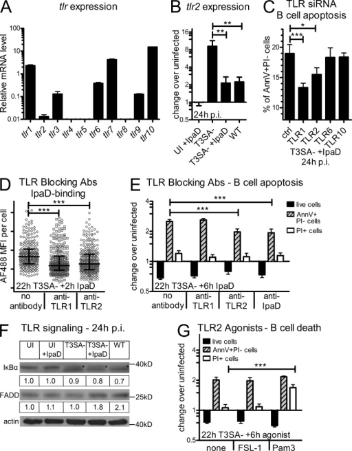 IpaD induces B cell apoptosis via interaction with TLR2. (A) Relative TLR mRNA expression levels in the CL-01 B cell line as assessed by quantitative RT-PCR. (B) TLR2 mRNA expression levels after 24 h of incubation with IpaD alone, T3SA−, WT, or T3SA− + IpaD. mRNA levels are presented as fold change over the uninfected control. Asterisks indicate a statistical difference between T3SA− and T3SA− + IpaD/WT determined by one-way ANOVA with Bonferroni post-test. **, P < 0.01. (C) Apoptotic CL-01 B cells after transfection with TLR-targeting siRNA pools. Transfection was performed 24 h before incubation with T3SA− + IpaD and percentages of AnnV+PI− cells are presented 24 h p.i. Asterisks indicate statistical differences to the nontargeting control siRNA pool determined by one-way ANOVA with Bonferroni post-test. *, P < 0.05; ***, P < 0.001. (D) IpaD binding to B cells in the presence of TLR1 and 2 blocking antibodies. IpaD coupled to Alexa Fluor 488 was added for 2 h to cells preincubated with the T3SA− mutant for 22 h. The blocking antibodies were added 1 h before IpaD addition. Asterisks indicate statistical differences to the control without antibody determined by Kruskal-Wallis test with Dunn's post-test. ***, P < 0.0001. (E) B cell death in the presence of TLR1 and 2 blocking antibodies or an antibody against IpaD. IpaD was added for 6 h to cells preincubated with the T3SA− mutant for 22 h. The TLR blocking antibodies were added to the cells, and the anti-IpaD antibody to the IpaD solution, 1 h before IpaD addition to the cells. Live cell numbers and percentages of AnnV+PI− and PI+ cells are presented as fold changes over the uninfected control. Asterisks indicate statistical differences to the control without antibody determined by two-way ANOVA with Bonferroni post-test. ***, P < 0.001. (F) TLR signaling at 24 h p.i. as assessed by Western blot analysis. Protein amounts of IκBα were assessed as an indicator for NF-κB activation and FADD as an indicator of the TLR2 death pathway. Pictures of the blots and the correspondent fold change over the uninfected control after normalization to actin are shown for both proteins. (G) Induction of B cell death by a TLR2 agonist. The TLR2-6 agonist FSL-1 and the TLR2-1 agonist Pam3CSK4 were added for 6 h to cells preincubated with the T3SA− mutant for 22 h. Live cell numbers and percentages of AnnV+PI− and PI+ cells are presented as fold changes over the uninfected control. Asterisks indicate statistical differences to T3SA− bacteria alone determined by two-way ANOVA with Bonferroni post-test. ***, P < 0.001. Data are presented as mean ± SEM (A–C, E, and G) and as median ± interquartile range in D. Three independent experiments were performed in triplicate for A–C, E, and G, and one representative out of two independent experiments is shown in D and F.