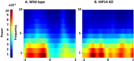 Striatal local field potential (LFP) activity recorded from wild-type and HIP14 knockout mice before and after entry into the choice point. Spectrogram plots were obtained 2 s before and 2 s after the wild-type (A) and HIP14 knockout (B) mice enter the center of the maze (denoted by zero). Graphs were obtained from the average of the total of crossing events obtained from 5 wild-type (339 events) and 6 HIP14 knockout mice (701 events).