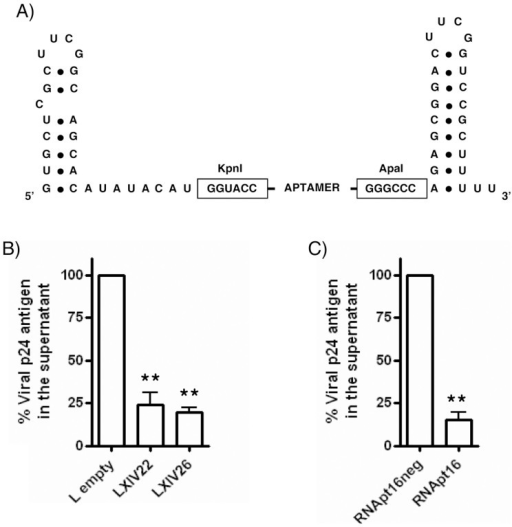 Ex vivo HIV-1 inhibition assays.(A) Schematic representation of the U6-aptamer RNA constructs. (B) Inhibition of HIV-1 p24 antigen production by LXIV22 and LXIV26, using 'L-empty' as control. (C) Inhibition by RNApt16 and RNApt16neg. Data represent the mean of three independent experiments. **: statistically significant differences as compared to the control (ANOVA, p < 0.01).