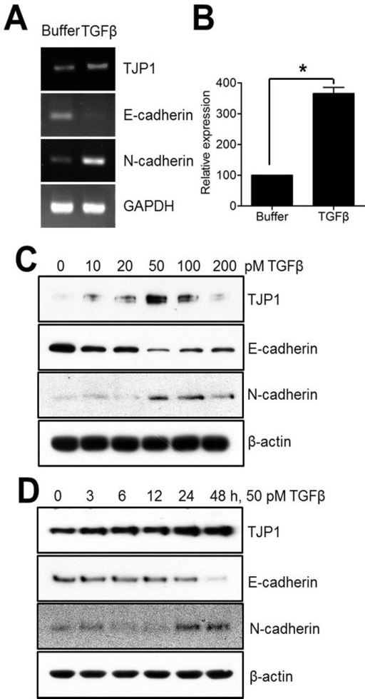 TGF-β induces TJP1 expression in A549 lung carcinoma cells. Subconfluent cells were exposed to TGF-β for 24 h, harvested, lysed, and analyzed for TJP1, E-cadherin, N-cadherin, and GAPDH expression by (A) RT-PCR and (B) real-time PCR in A549 cells. Subconfluent cells were exposed to (C) various concentrations of TGF-β for 24 h or to (D) 50 pM TGF-β for various time periods, as indicated, in A549 cells, and analyzed for TJP1, E-cadherin, N-cadherin, and β-actin expression by immunoblotting. All results are representative of at least three independent experiments. Data are expressed as means ± SE. Statistical significance was assessed using paired Student's t-tests (*P < 0.0001).