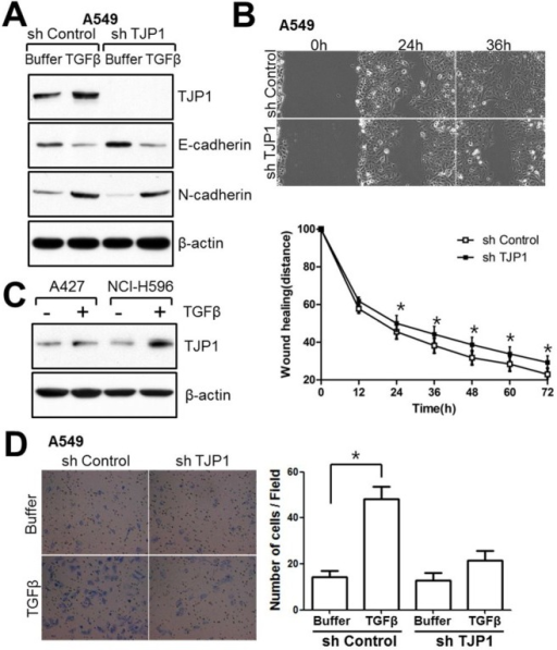 TJP1 is increased in response to TGF-β in lung cancer cells and contributes to cellular motility. (A) Subconfluent cells were treated with 50 pM TGF-β for 24 h and harvested for immunoblotting. (B) Cells were grown until fully confluent, and a uniform scratch was made down the center of the well. Digital images of the wound were obtained in 12-h intervals until 72 h (top), and the horizontal distance between both sides of the wound was measured and analyzed statistically (bottom). All results shown are representative of at least three independent experiments. Data are expressed as the means ± SE. Statistical significance was assessed using paired Student's t-tests (*P < 0.0001). (C) A427 and NCI-H596 lung cancer cells were treated with 100 pM TGF-β for 24 h and evaluated for TJP1 expression by immunoblotting. All results shown are representative of at least three independent experiments. (D) Cells were induced to invade through Matrigel- coated Transwell membranes. After 24 h, invaded cells were fixed and stained. Digital images were taken for cell counting. All results shown are representative of at least three independent experiments. Data are expressed as the means ± SE. Statistical significance was assessed using paired Student's t-tests (P < 0.0001).