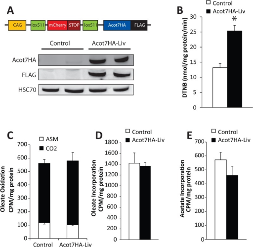 Development of a transgenic mouse model with a conditional tissue-specific and cytoplasmically targeted long-chain acyl-CoA thioesterase.(A) Transgenic construct schematic and representative western blot confirming Acot7HA-FLAG overexpression in liver. (B) Thioesterase activity for oleoyl-CoA in liver lysate from control and Acot7HA-Liv transgenic mice, n = 5–7. Overnight fasted control and Acot7HA-Liv liver slice rates of (C) 14C-oleate oxidation, (D) 14C-oleate incorporation into complex lipids, and (E) 3H-acetate incorporation into lipids, n = 5–7. Data represent mean ± SEM, * represent p≤0.05 by Student's t-test.