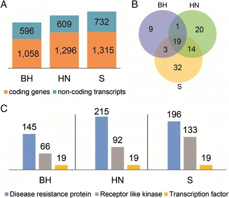 "Distinct genes in the three Chinese wildVitis, BH, HN and S. (A) Number of distinct protein-coding genes and non-coding transcripts from de novo transcriptome assemblies of the three Chinese Vitis leaf tissues, which were collected at 0, 6, 12, 24, 48, 72, 96, and 120 hours post inoculation with PM, respectively. (B) Venn diagram of GO terms enriched in the distinct protein-coding genes. (C) Number of distinct genes encoding disease resistance proteins, receptor like kinases and transcription factors. BH, V. pseudoreticulata accession ""Baihe-13-1""; HN, V. pseudoreticulata accession ""Hunan-1""; S, V. quinquangularis accession ""Shang-24""."