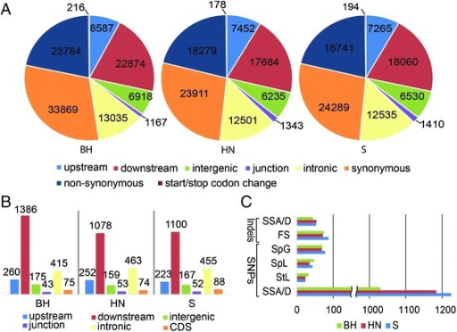 "SNPs and small indels between the three Chinese wildVitis, BH, HN and S, and PN40024. (A) Number of SNPs at different annotated regions of the reference PN40024 genome. (B) Number of small indels at different annotated regions of the reference PN40024 genome. (C) Number of genes affected by SNPs and small indels. SSA/D, splice site acceptor or splice site donor; FS, frame shift; SpG, stop codon gained; SpL, stop codon lost; StL, start codon lost. BH, V. pseudoreticulata accession ""Baihe-13-1""; HN, V. pseudoreticulata accession ""Hunan-1""; S, V. quinquangularis accession ""Shang-24""."