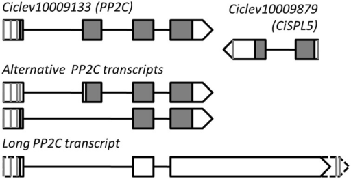 Genomic structure ofCiSPL5(Ciclev10009879) and its long antisense transcript. Vertical gray lines and triangle tips indicate transcription start site or polyadenylation site identified by 5′ or 3′ RACE. Exon–intron organization of Ciclev10009133 (PP2C) primary and alternative transcripts is based on the Citrus clementina genome database (http://www.phytozome.net/).