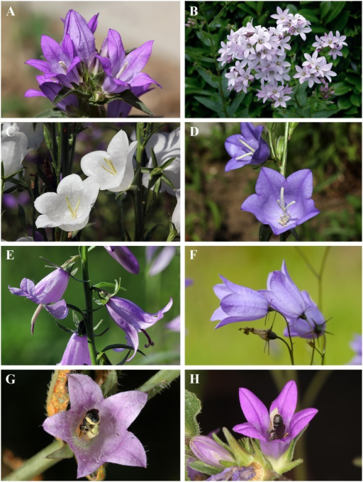 Flowers of Campanula species used for the study and their oligolectic pollinator Chelostoma rapunculi.(A) Ca. glomerata, (B) Ca. lactiflora (C) Ca. persicifolia alba, (D) Ca. persicifolia, (E) Ca. rapunculoides, (F) Ca. rotundifolia, and (G) Ca. trachelium. (G, H) Females of Ch. rapunculi gathering pollen on Ca. trachelium and Ca. glomerata, respectively. All photos by Paulo Milet-Pinheiro.
