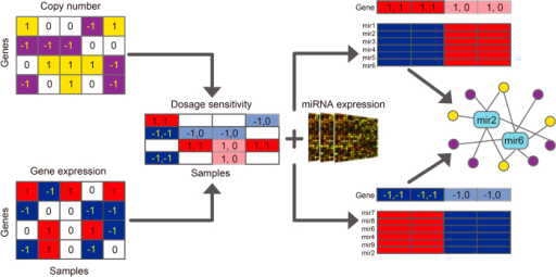 Framework of the evaluation of dosage sensitivity and the identification of miRNAs that modulate dosage response.In the copy number matrix, yellow represents amplification, purple represents deletion. In the expression matrix of genes and miRNAs, red represents upregulation, blue represents downregulation. In the dosage sensitivity matrix, blue and red represents dosage sensitive samples with copy number deletion and amplification, respectively; and light blue and red represents dosage resistant samples with copy number deletion and amplification, respectively.