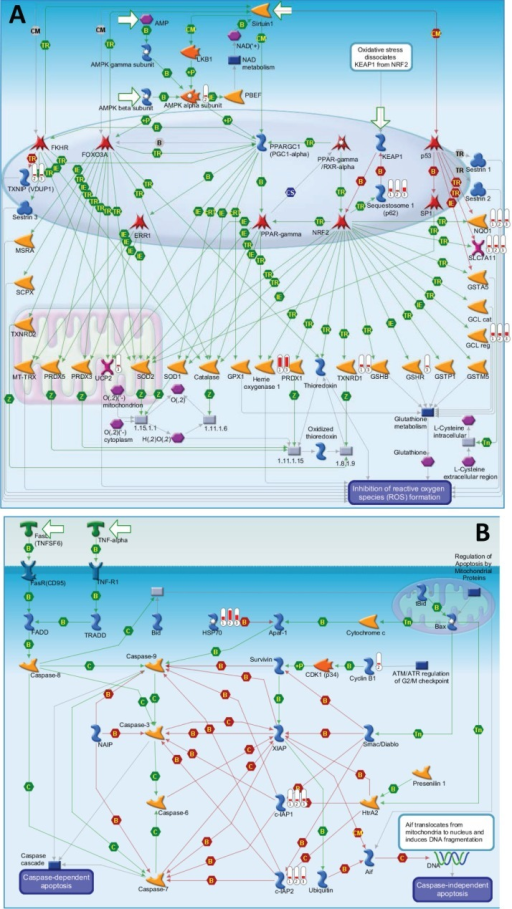 The top 2 scored maps (maps with the lowest p-value) based on the enrichment distribution sorted by 'common' gene set(A) Oxidative stress: Role of Sirtuin1 and PGC1 alpha in activation of antioxidant defense system. (B) Apoptosis and survival: Role of IAP proteins in apoptosis. Experimental data from all files is linked to and visualized on the maps as thermometer like figures. Up-ward thermometers have red color and indicate upregulated signals and down ward (blue) ones indicate downregulated expression levels of the genes. Data was produced by the Metacore Software (Thompson Reuters).