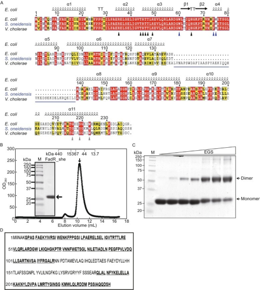 Characterization ofS. oneidensisFadR protein. (A) Sequence analyses of three different FadR homologues. The multiple alignments of FadR protein sequences were performed using ClustalW2 (http://www.ebi.ac.uk/Tools/clustalw2/index.html), and the resultant output was processed by program ESPript 2.2 (http://espript.ibcp.fr/ESPript/cgi-bin/ESPript.cgi), generating the final BLAST photography (Feng & Cronan, 2011b). Identical residues are in white letters with red background, similar residues are in black letters in yellow background, the varied residues are in grey letters, and gaps are denoted with dots. In light of the structural architecture of E. coli FadR protein (PDB:1E2X) (van Aalten et al., 2000), the protein secondary structure was illustrated in cartoon (on top) (Zhang et al., 2014), α: alpha-helix; β: beta-sheet; T: Turn; η: coil. The seven known DNA-binding sites (R35, T44, R45, T46, T47, R49 and 65H) are highlighted with black triangles (Xu et al., 2001), the three known ligand-binding sites are shown with grey triangles (216G, 219S and 223W) (van Aalten et al., 2001), and the newly-proposed amino acids with indirect role for FadR-DNA interaction are highlighted with blue arrows (W60, F74 and W75) (Zhang et al., 2014). The extra 40-aa (138–177) longer region of V. cholerae FadR was underlined in blue. The FadR sequences are separately sampled from E. coli K12 (Accession no.: CAA30881), V. cholerae (Vibrio cholerae) (Accession no.: AAO37924) and S. oneidensis (Accession no.: NP_718457). (B) Gel exclusion chromatographic profile of the recombinant S. oneidensis FadR protein run on a Superdex 75 column (GE Healthcare). The expected peak of the target FadR was eluted at the position of 10.5 mL (highlighted with an arrow). The inset gel is the 15% SDS-PAGE photography of the collected S. oneidensis FadR protein sample. The mass of the monomeric S. oneidensis FadR is estimated to be ∼27 kDa. Abbreviations: M, protein marker; OD280, optical density at 280 nm; mAu, milli-absorbance units. The ruler on the top was given to describe the elution pattern of the standard proteins (Pharmacia). The standards used here included Ferritin (∼440 kDa), Aldolase (153 kDa), Bovine serum albumin (∼67 kDa), Ovalbumin (∼44 kDa) and ribonuclease (∼13.7 kDa), respectively. (C) Chemical cross-linking analyses for the purified S. oneidensis FadR protein. The level of EGS chemical cross-linker was illustrated with a triangle varies from 0, 0.1, 0.2, 0.5, 1.0, 1.5, to 2.0 µmol/L. (D) MS determination of the recombinant S. oneidensis FadR protein. The matched amino acid residues that exhibited 69% coverage to the native S. oneidensis FadR are given bold and underlined type