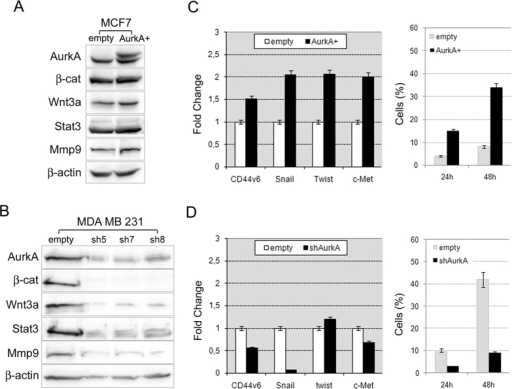 Aurka controls breast cancer stem cells through regulation of Wnt/β-catenin.(A) AurkA overexpression in MCF-7 cells promoted AurkA protein stabilization and increased levels of β–catenin, Wnt3a, Stat3 and Mmp9 proteins; (B) conversely, AurkA knock-down dramatically reduced AurkA protein levels as well as levels of β–catenin, Wnt3a, Stat3 and Mmp9 proteins. β–actin is a loading control. (C) AurkA overexpression associated with a metastatic signature in MCF-AurkA cells as suggested by increased expression of CD44v6, Snail, Twist and c-Met and increased migratory activity (right graph) in comparison with control cells (empty). (D) In contrast, MDA-shAurkA cells lost that signature showing a repression of CD44v6, Snail and c-Met and a marked inhibition of migratory activity (right graph) in comparison with control cells (empty).