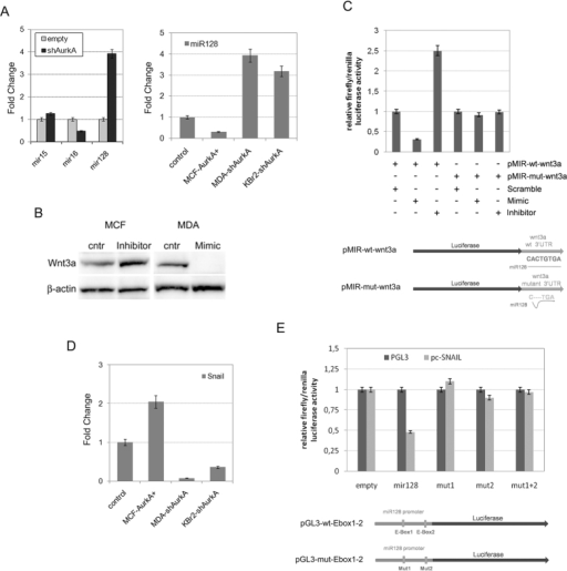 Aurka promote stabilization of wnt3a through repression of miR-128.(A) Q-PCR showed that AurkA knock-down in MDA-MB-231 cells promoted an increase of mir128 expression while reduced levels of mir15 and mir16. Effectively, there was a mechanism of miR128 inhibition by AurkA as revealed by Q-PCR after AurkA overexpression in MCF-7 (MCF-AurkA+) cells of knock-down in MDA-MB-231 and KBr2 cells (MDA-shAurkA and KBr2-shAurka). (B) miR-128 controls wnt3a. miR-128 inhibitors promoted Wnt3a protein stabilization in MCF-7 (lane 2), conversely specific miR-128 mimics (lane 4) repressed Wnt3a in MDA-MB-231 cells, untreated MCF-7 or MDA-MB-231 cells were considered as control (lane 1 and 3, respectively). (C) miR128 bind to wnt3a 3′UTR. Luciferase activity increased when HEK-293T cells were co-transfected with pMIR-wt-wnt3a and miR128 inhibitors (3rd bar), decreased in presence of pMIR-wt-wnt3a and mimics (mimicking miR128 activity, 2nd bar). In contrast, it was not affected in control cells co-transfected with pMIR-wt-wnt3a and miR128 scramble (1st bar) or co-transfected with pMIR-mut-wnt3a (carrying mutated 3′UTR of wnt3a) and miR128 scramble, mimics or inhibitor (respectively 4th, 5th, 6th bars). At the bottom a schematic view of pMIR-wt-wnt3a and pMIR-mut-wnt3a. Data are representative of biological triplicates. (D) AurkA expression affected Snail transcription. Snail cDNA increased after AurkA overexpression in MCF-7 (MCF-AurkA+) cells and increased after AurkA knock-down in MDA-MB-231 and KBr2 cells (MDA-shAurkA and KBr2-shAurka). (E) Increased luciferase activity was found when 293T cells were co-transfected with a vector carrying snail and pGL3-wt-Ebox1–2 (2nd gray bar). Conversely, luciferase activity was unaffected when 293T were co-transfected with a snail-vector and pGL3-mut-Ebox1–2 (carrying mutated Ebox1, Ebox2 or both, respectively 3th, 4th and 5th gray bars). Control cells, co-transfected with pGL3-wt-Ebox1–2 or pGL3-mut-Ebox1–2 with pGL3 (missing Snail gene) showed basal luciferase expression.
