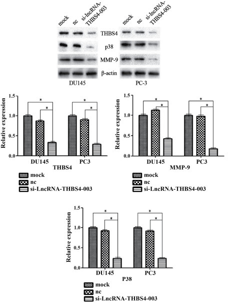 Expression levels of THBS4, P38 and MMP-9 are decreased following transfection with si-lncRNA-THBS4-003. *P<0.05. lncRNA, long noncoding RNA; THBS4, thrombospondin 4; si-THBS4, small interfering-THBS4; MMP-9, matrix metallorpoteinase-9; nc, negative control.