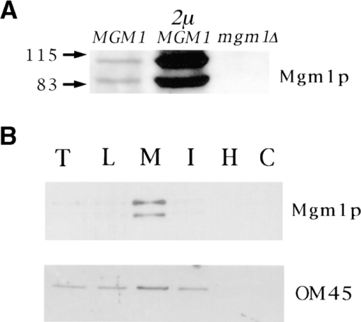 Mgm1p is localized to the mitochondrial outer membrane. (A) Wild-type cells (strain MYY290) (MGM1) and  mgm1- cells (strain MYY974) (mgm1Δ) were grown on YPD  at 30°C. Wild-type cells (strain MYY290) harboring a multicopy  plasmid encoding MGM1 (p423-MGM1) (2 μ, MGM1) were  grown at 30°C on minimal glucose medium without histidine. Extracts of total cellular proteins were prepared by glass bead lysis  and subjected to SDS-PAGE and immunoblot analysis using antibodies specific for the COOH terminus of Mgm1p. The mobilities of molecular mass markers are indicated in kilodaltons at the  left. (B) Subcellular fractions were prepared by differential centrifugation of homogenate from wild-type cells (MYY291) grown  on semisynthetic lactate medium at 30°C. Proteins were separated by SDS-PAGE and analyzed by immunoblotting. Fractions  were probed with anti-Mgm1p antibodies (top) or with antibodies specific for the mitochondrial outer membrane protein, OM45  (bottom). Subcellular fractions are all of the following: T, total  cell homogenate; L, low speed pellet; M, mitochondrial fraction;  I, intermediate speed pellet; H, high speed pellet; and C, cytosolic  fraction. (C) Mgm1p is enriched in the mitochondrial outer membrane. Mitochondria from wild-type cells (strain MYY290) were  fractionated by osmotic shock followed by sucrose density gradient centrifugation to separate outer and inner membranes.  Equivalent amounts (20 μg) of protein from outer (OM) and inner (IM) membrane fractions were analyzed by SDS-PAGE and  immunoblot analysis. Fractions were analyzed with anti-Mgm1p  antibodies (top), anti-F1β antiserum (middle), and anti-OM45  (bottom). (D) Mitochondria isolated from wild-type cells  (MYY290) grown on semisynthetic lactate medium at 30°C were  treated with varying concentrations of trypsin for 10 min at 4°C in  the presence (+) or absence (−) of 1% Triton X-100. Samples  were analyzed by SDS-PAGE and immunoblotting with antibodies against Mgm1p (top), Tom70p, a protein of the mitochondrial  outer membrane (middle), and Mas2p, a matrix protein (bottom).