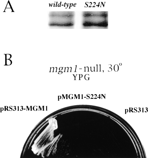 Mgm1p with a mutated GTP-binding site fails to complement growth or mitochondrial inheritance defects of mgm1- cells.  (A) Detection of Mgm1p expressed from the S224N mutant allele. Yeast cells with an mgm1- mutation (derived from strain  MYY973) harboring plasmids encoding either wild-type MGM1 (left) or mgm1-S224N (right) were grown in minimal medium without  histidine. Cells were homogenized by glass-bead lysis, and proteins were analyzed by SDS-PAGE and immunoblotting with antibodies  specific for Mgm1p. (B) Cells with an mgm1- mutation (derived from strain MYY973) harboring plasmids encoding wild-type  MGM1 (pRS313-MGM1), mgm1-S224N (p313-MGM1-S224N), or vector alone (pRS313) were cultured in different sectors of a YPG-agar plate at 30°C for 48 h. (C) mdm17 cells (strain MYY972) were transformed with plasmids encoding wild-type MGM1 (pRS313-MGM1) or the S224N mutant (pMGM1-S224N) and cultured in minimal medium without histidine at 23°C. Cells were incubated at  37°C for 1 h, stained with DASPMI, and examined by phase-contrast (left of each pair) and fluorescence microscopy (right of each  pair). Two representative cells of each type are shown. Bar, 2 μm.