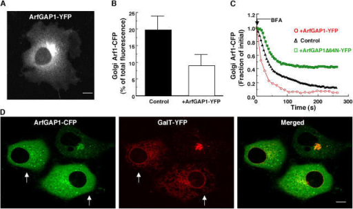 In vivo GAP activity of ArfGAP1-YFP. (A) Golgi and cytoplasmic distribution of ArfGAP1-YFP in a stable NRK cell line expressing ArfGAP1-YFP at low levels. (B) Golgi-associated pool of Arf1-CFP (expressed as a percentage of total cellular fluorescence) measured in NRK cells stably expressing Arf1-CFP alone (control) (n = 16) or after cotransfection with ArfGAP1-YFP (n = 16). Note that the steady-state Golgi pool of Arf1-CFP is reduced in cells coexpressing ArfGAP1-YFP. (C) Kinetics of dissociation of Arf1-CFP during BFA treatment (5 μg/ml−1) measured in NRK cells stably expressing Arf1-CFP alone (black Δ), with cotransfected ArfGAP1-YFP (red ○), or with cotransfected ArfGAP1Δ64N-YFP (green □). (D) NRK cells transiently expressing ArfGAP1-CFP and GalT-YFP were imaged 20 h after transfection. In cells with high levels of ArfGAP1-CFP expression (arrows), GalT-YFP was redistributed into the ER while ArfGAP1–YFP was found mainly in the cytoplasm. Bar, 5 μm.