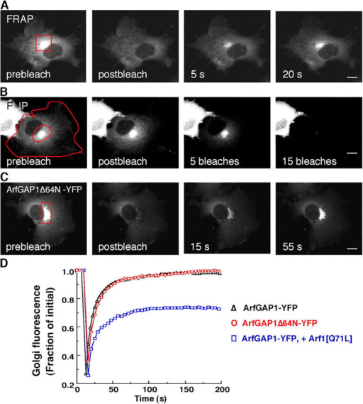 Kinetics of ArfGAP1 binding to and dissociation from Golgi membranes. (A and C) NRK cells stably expressing ArfGAP1-YFP in A or transiently expressing ArfGAP1Δ64N-YFP in C were imaged before (prebleach) and after photobleaching the Golgi region (outlined in red) with high intensity laser light. Note the rapid fluorescence recovery into the Golgi. (B) Repeated photobleaching (FLIP) of the cytoplasm defined by the area between the two red lines caused all Golgi fluorescence within an NRK cell expressing ArfGAP1-YFP to disappear over time. (D) Quantification of the FRAP experiment from A and C, as well as from a similar FRAP experiment in NRK cells stably expressing ArfGAP1-YFP in which an Arf1[Q71L] plasmid was microinjected 9 h before microscopy. Golgi fluorescence in this as well as all other FRAP and BFA experiments was represented as the ratio of Golgi-to-total cell fluorescence divided by the initial ratio. Bars, 5 μm.