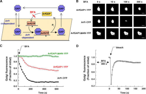 ArfGAP1 follows both Arf1-dependent and –independent pathways on Golgi membrane. (A) Scheme for ArfGAP1 membrane binding and dissociation pathways. (B) Release of Arf1-CFP, ArfGAP1-YFP, and ArfGAP1Δ64N-YFP from Golgi membranes after BFA addition (5 μg/ml−1) in NRK cells stably expressing Arf1-CFP and cotransfected with ArfGAP1-YFP or ARFGAP1Δ64N-YFP. Notice the differences in the rates and extents of release of the three proteins from the Golgi during the BFA treatment. Bars, 5 μm. (C) Quantification of the release kinetics shown in B. (D) After 300 s of BFA treatment, the persisting Golgi pool of ArfGAP1-YFP in an NRK cell such as that shown in B, was photobleached and recovery into the Golgi region was quantified. The results indicated that the BFA-resistant Golgi pool of ArfGAP1-YFP continues to cycle on and off Golgi membranes before Golgi disassembly (which occurs sometime after 600 s in BFA).