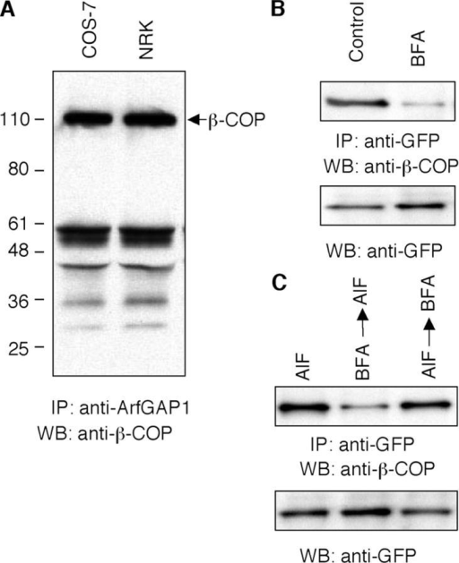 Biochemical evidence for membrane coatomer–ArfGAP1 complex formation. (A) COS-7 and NRK cell lysates were immunoprecipitated with polyclonal anti-ArfGAP1 antibody, and the immunocomplexes were subjected to immunoblot assay with the monoclonal anti–β-COP antibody. (B and C) NRK cells expressing ArfGAP1-YFP were treated without or with BFA (5 μg/ml−1) for 30 min, AlF for 10 min, BFA 30 min then AlF 10 min, or AlF 10 min then BFA 30 min. The cell lysates were immunoprecipitated with monoclonal anti-GFP antibody, and were followed by Western blotting with polyclonal anti–β-COP (top) antibody or anti-GFP antibody (bottom).