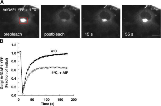 Membrane association–dissociation kinetics of ArfGAP1-YFP at 4°C. (A) Prebleach and recovery images of NRK cell stably expressing ArfGAP1-YFP whose Golgi pool was photobleached after incubation at 4°C for 1 h or more. Bar, 5 μm. (B) Quantification of FRAP experiment shown in A and from a parallel experiment in which cells at 4°C expressing ArfGAP1-YFP were treated with AlF for 10 min before photobleaching the Golgi. Note the appearance of an immobile pool in the cells treated with AlF, which suggested that both Arf1-independent and Arf1-dependent pathways operate at 4°C.
