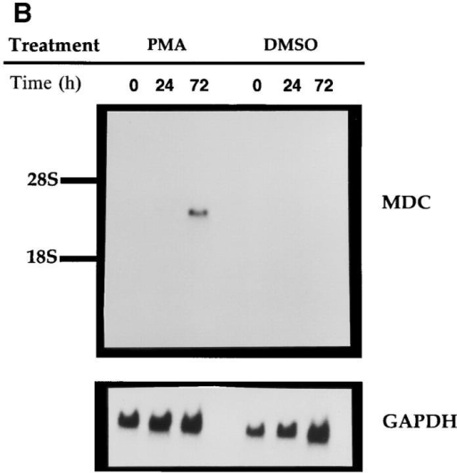 Northern analysis of MDC mRNA expression in human  cells. Migration of MDC, 28S RNA, and 18S RNA is indicated. (A) Peripheral blood monocytes were allowed to differentiate into macrophages  by incubation on plastic tissue culture dishes for 6 d (41). Total RNA was  isolated from individual dishes on the indicated days, fractionated through  a formaldehyde agarose gel, blotted, and probed with the radiolabeled  MDC cDNA. The blot was subsequently probed for GAPDH message.  (B) Expression of MDC in differentiated HL-60 cells. Cells were treated  with PMA to induce differentiation to monocytic cells or with DMSO to  induce granulocytic cells. MDC expression was analyzed by Northern  blotting as in A. (C) Northern blot of MDC expression in human peripheral blood monocytes (Mono.), macrophages derived from these monocytes (Mac.), dendritic cells derived from PBMC of two different donors  (DC-1 and DC-2), and natural killer cells derived from PBMC (NK). (D)  Expression of MDC in cell cultures. Lung epithelial cell line A549, lung  fibroblast line IMR90, and I-HUVEC without and with TNF-α stimulation; PBMC without and with stimulation by PHA and PMA; and  monocyte derived macrophages after 6 d in culture. After probing with  MDC, the filter was stripped and probed sequentially with MCP-1 and  GAPDH.