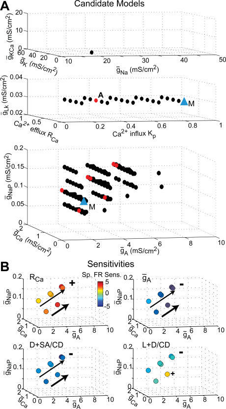 "Sensitivity of Spontaneous Firing Rate Across Parameter Space(A) Colored symbols show 136 Area II–like candidate models identified during the systematic search of conductance space. Values of 								, 								, and 								(top graph) and 								 (middle graph, z-axis) were the same for all candidate models; locations along Kp and RCa dimensions (middle graph) and 								, 								 and 								 dimensions (bottom graph) varied. Some models have been shifted slightly along the 								 axis to aid in visualization. Red dots indicate candidate models within subspace A (Figure 5A); the blue triangle (""M"") marks the active parameter values used in the systematic search of morphologic space.							(B) Sensitivity of spontaneous firing rate to parameter perturbations of the subspace A candidate models as a function of their location in the lower [								, 								, 								] subspace. Color indicates sensitivity magnitude and sign according to the colorscale shown at top left. Shown are sensitivities to active parameters RCa and 								 (top left and right, respectively) and to morphologic parameters D + SA and L + D with constant channel densities (""CD""; bottom left and right). Arrows indicate the principal sensitivity direction across the space."