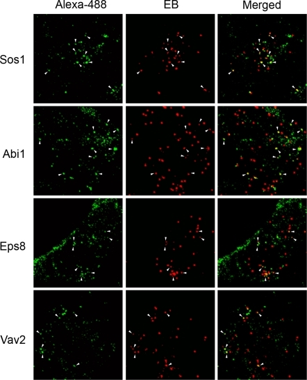 Recruitment of various host signaling molecules to the sites of entry of C. trachomatis L2 EBs.HeLa cells infected for 10 min were fixed and prepared for immunofluorescent staining using antibodies specific for Sos1, Abi1, Eps8, and Vav2. White arrowheads indicate protein puncta colocalizing with EBs. Bordered regions indicate areas enlarged in inset images. Scale bars = 10 µm.