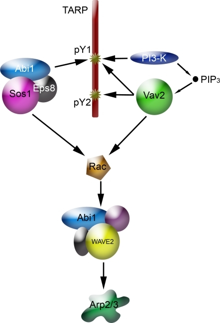 A model of the signaling pathway to the Arp2/3 complex.Rac activation, which is required for chlamydia invasion involves two different guanine nucleotide exchange factors that interact directly (Vav2) or indirectly (Sos1/Abi1/Eps8) with the phosphodomain of the TARP protein.